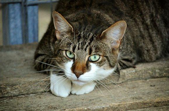 Могут ли кошки и собаки заразиться COVID-19 или заразить человека