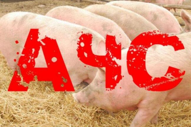 АЧС Африканская чума свиней
